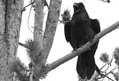 Svarta Raven On ett träd i natur fotografering för bildbyråer