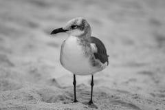 Svarta Ring-Bill Gull som tycker om hans tid på den Naples stranden royaltyfria bilder