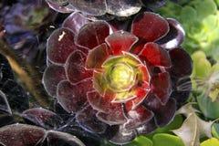 Svarta Rose Aeonium Arboreum Arkivfoto
