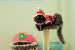 Svarta Santa Cat On Condo Cats Royaltyfria Bilder