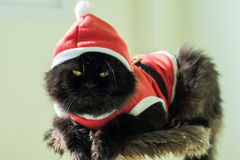Svarta Santa Cat On Condo Cats Arkivbild