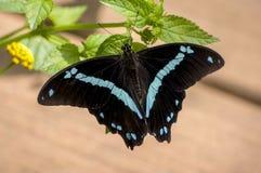 Svarta Sapphire Butterfly Arkivfoto