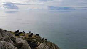 svarta sheeps Arkivfoto