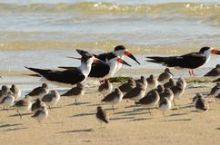 Svarta skumslevar på en sandig strand royaltyfri foto