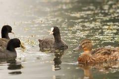 Svarta sothönor på vattnet Arkivfoto