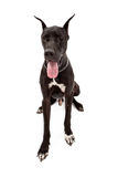 Svarta stora Dane Dog Sitting Over White Royaltyfria Foton