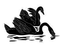 Svarta svanar Arkivbild