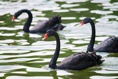 Svarta svanar arkivfoton
