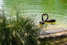 svarta svanar för härdform arkivbild