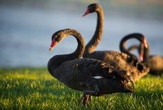Svarta svanar framme av sjön Royaltyfria Bilder