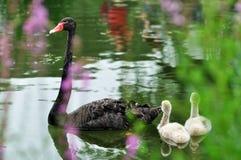 Svarta svanar i en flod arkivfoton