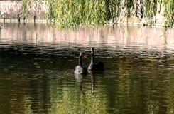 Svarta svanar i höstsjön royaltyfria bilder