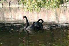 Svarta svanar i höstsjön arkivfoton