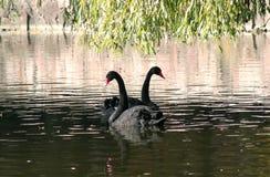 Svarta svanar i höstsjön royaltyfri foto