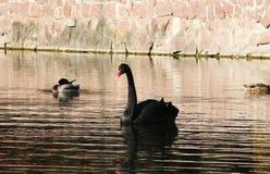 Svarta svanar i höstsjön royaltyfri fotografi