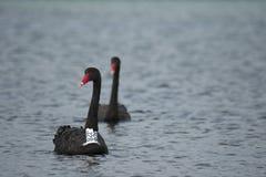 Svarta svanar i havet/havet, märkt svart svan Arkivfoto
