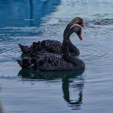 Svarta svanar i havspöl Arkivfoton