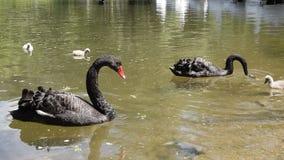 Svarta svanar med deras f?gelungar stock video