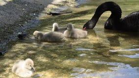 Svarta svanar med deras f?gelungar lager videofilmer