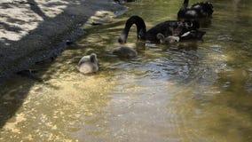 Svarta svanar med deras f?gelungar arkivfilmer