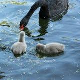 Svarta svanar med deras f?gelungar fotografering för bildbyråer