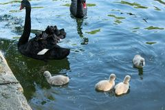 Svarta svanar med deras f?gelungar royaltyfria foton