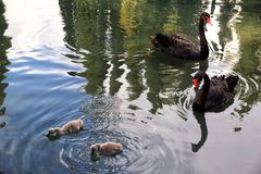 Svarta svanar med f?gelungar arkivbilder