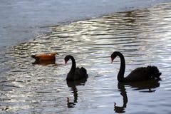 Svarta svanar och ett andbad på ett damm royaltyfria bilder