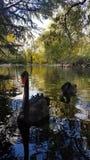 Svarta svanar på dammet royaltyfri fotografi