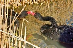 Svarta svanar på floden Royaltyfria Bilder