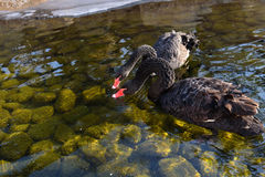 Svarta svanar på vinter Arkivfoton