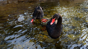 Svarta svanar på vinter Royaltyfri Foto