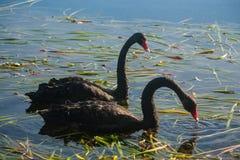 Svarta svanar som söker för mat Fotografering för Bildbyråer