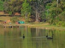 Svarta svanar som simmar på sjön royaltyfria foton