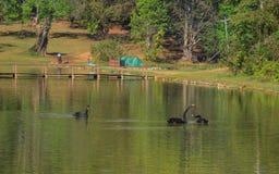 Svarta svanar som simmar på sjön royaltyfri bild
