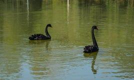 Svarta svanar som simmar p? sj?n fotografering för bildbyråer