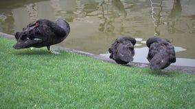 Svarta svanar som sover nära dammet stock video