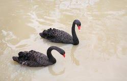 Svarta svanar som svävar i dammet royaltyfri fotografi