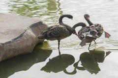 Svarta svanar vilar royaltyfri fotografi