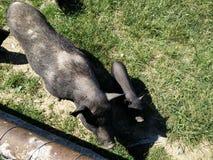Svarta svin med pigie Arkivfoto