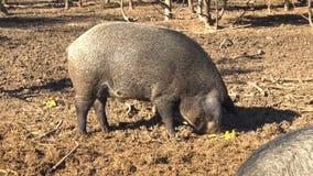Svarta svin på en lantgård arkivfilmer