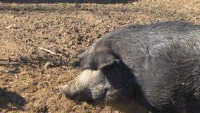 Svarta svin på en lantgård lager videofilmer