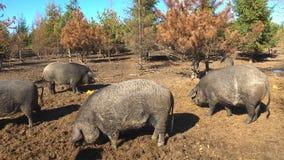 Svarta svin på en lantgård stock video
