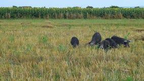 Svarta svin som betar i fältmangulicaen som passerar till och med skott 03 arkivfilmer