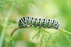 Svarta Swallowtail Caterpillar Arkivfoton