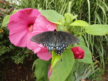 Svarta Swallowtail på hibiskus Arkivfoton