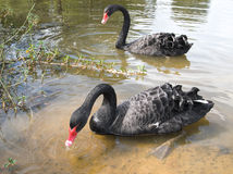 svarta swans Arkivfoton