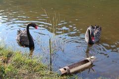 svarta swans Royaltyfria Bilder