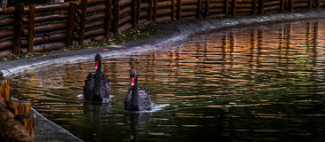 svarta swans Royaltyfri Fotografi