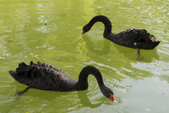 Svarta swans på en lake royaltyfria foton